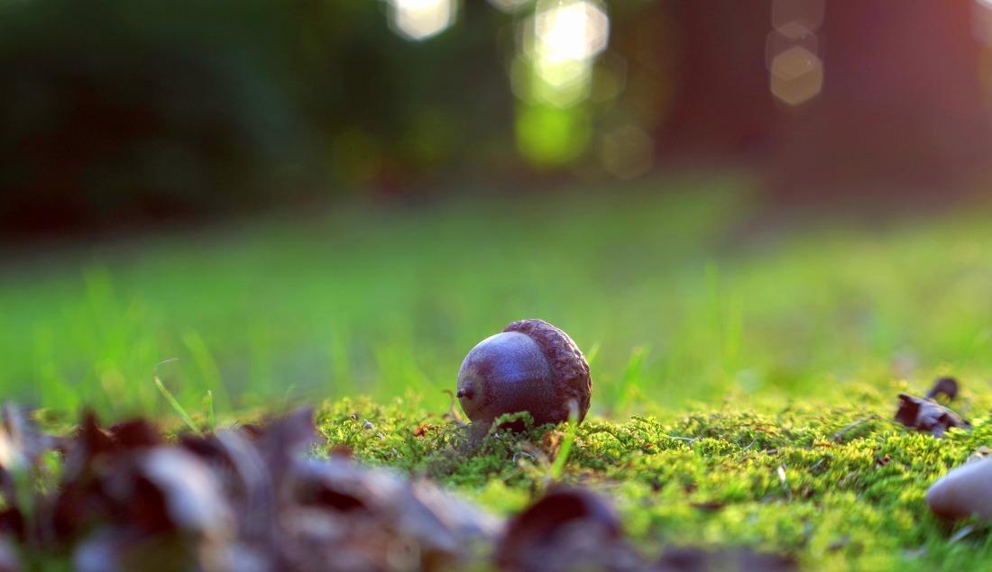acorn-2742980_1920
